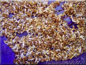 Graines d'alfalfa germées à 3 jours