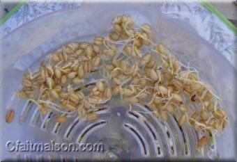 Graines de blé germées à 4 jours