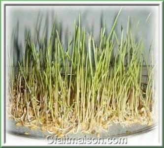 Graines germ es et jeunes pousses culture avec ou sans terre - Plante qui pousse sans terre ...