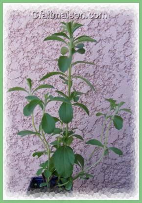 Le st via plante sucr e sucres et dulcorants for Plante kefir